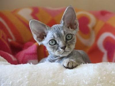 recherche chatons a donner en picardie