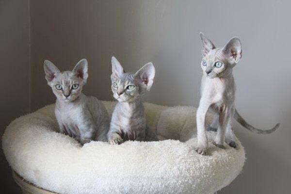 Les chatons chatterie du soleil du siam - Chaton devon rex ...