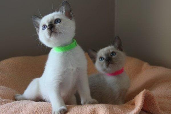 Les chatons chatterie du soleil du siam - Chaton tonkinois ...
