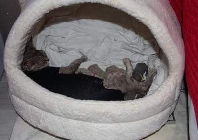 Nos premiers bébés Devon Rex nés le 20 juin