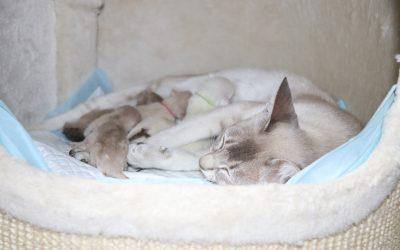 Naissance des chatons Tonkinois