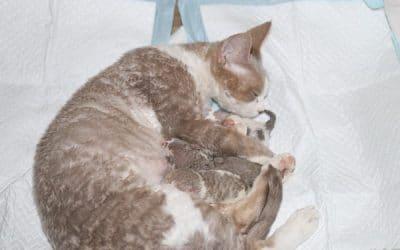 Naissance des chatons Devon Rex